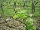 Vineyards_1