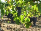 Vineyards_3