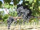Vineyards_5