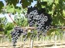 Vineyards_5