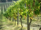 Vineyards_6